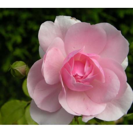 Rosa 'Bonica' - Rosaceae - Rosier