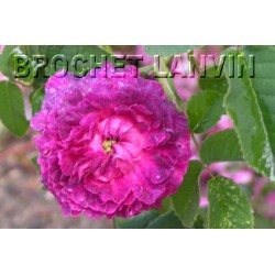 Rosa 'Boule de Nanteuil' - Rosaceae - Rosier