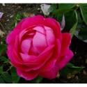 Rosa 'Bouquet de Flore' - Rosaceae - Rosier