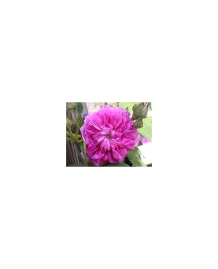 Rosa 'Bouquet de Vénus' - Rosaceae - Rosier