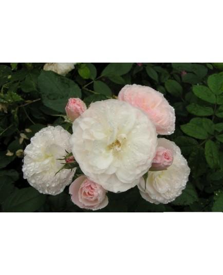 Rosa 'Bouquet Parfait (R)' - Rosaceae - Rosier