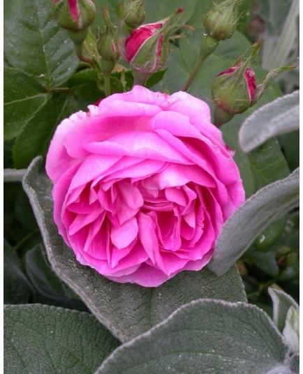 Rosa 'Bourbon Queen' - Rosaceae - Rosier