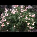 Rosa 'Buff Beauty' - Rosaceae - Rosier