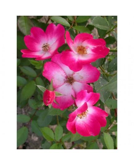 Rosa 'Bukavu (R)' - Rosaceae - Rosier