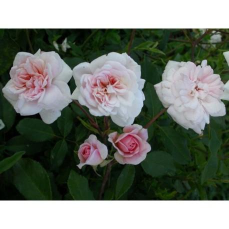 Rosa 'Cécile Brunner' - Rosaceae - Rosier