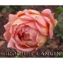 Rosa 'Café' - Rosaceae - rosier