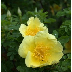 Rosa  'Canary Bird' - Rosaceae - Rosier