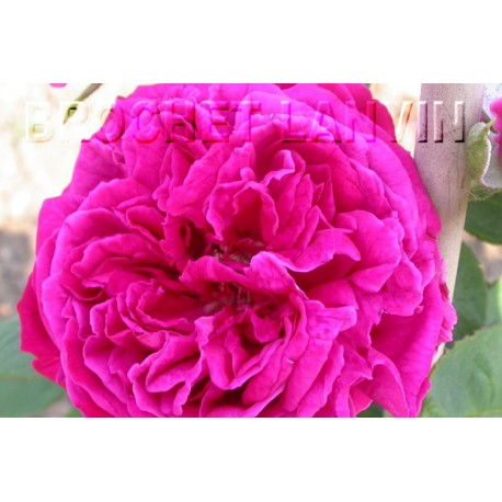 Rosa 'Capitaine Louis Frère' - Rosaceae