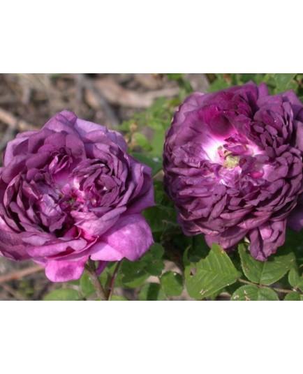 Rosa 'Cardinal de Richelieu' - Rosaceae - Rosier