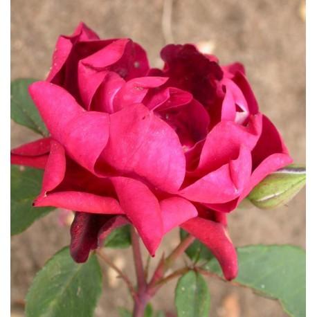 Rosa 'Cardinal Hume' - Rosaceae - Rosier