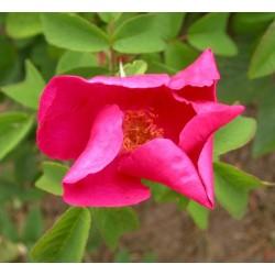 Rosa 'Carmen' - Rosaceae - Rosier