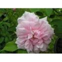 Rosa 'Cecile Brunner cl' - Rosaceae - Rosier