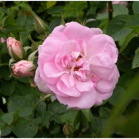 Rosa 'Celestial' - Rosaceae - Rosier