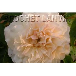 Rosa 'Celine Forestier' - Rosaceae - Rosier