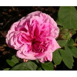 Rosa 'Celsiana' - Rosaceae - Rosier