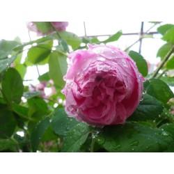Rosa 'Cent feuilles Descemet' - Rosaceae - Rose ancienne- Rosier arbuste