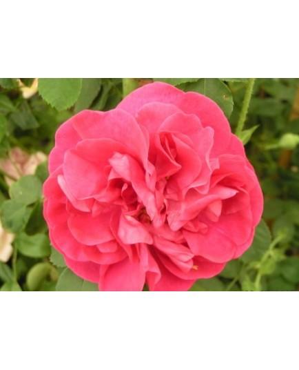 Rosa  'Cerise Bouquet' - Rosaceae - Rosier