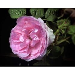 Rosa 'Chapeau de Napoleon' - Rosaceae - Rosier