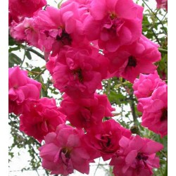 Rosa 'Chaplins Pink' - Rosaceae - Rosier