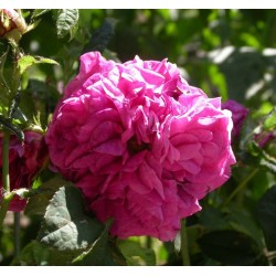 Rosa 'Charles de Mills' - Rosaceae - Rosier