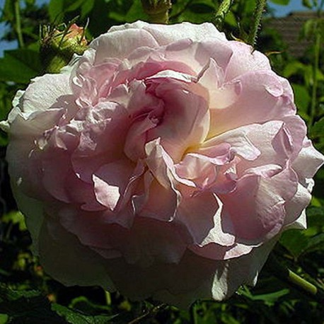 Rosa 'Chloris' - Rosaceae - Rosier