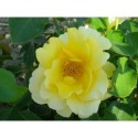 Rosa 'Chrys' - Rosaceae - rosier nain