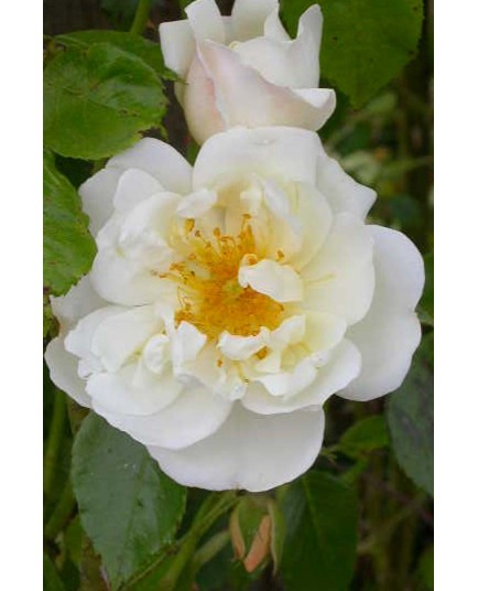Rosa 'City of York' - Rosaceae - Rosier