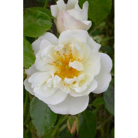 Rosa 'City of York' - Rosaceae - Rosier