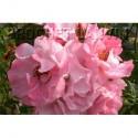 Rosa 'Clair Matin (R)' - Rosaceae - Rosier