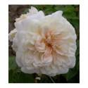 Rosa 'Claire Jacquier' - Rosaceae - Rosier
