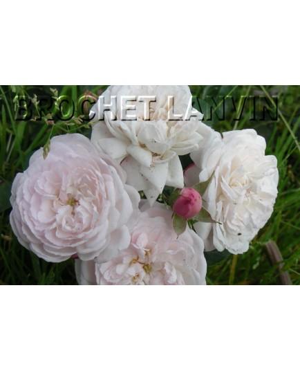 Rosa 'Claudia Augusta' - Rosaceae - Rosier nain