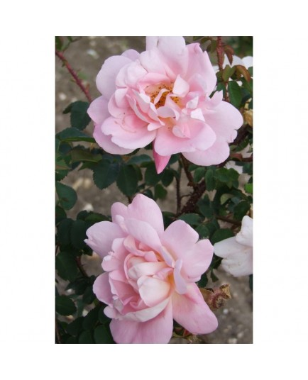 Rosa 'Claus Groth' - Rosaceae - Rosier
