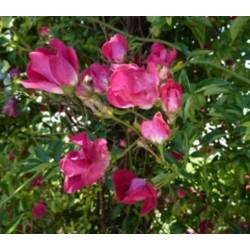 Rosa 'Clematis' - Rosaceae - Rosier grimpant