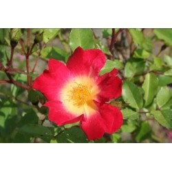 Rosa 'Cocktail (R)' - Rosaceae - Rosier