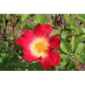 Rosa 'Cocktail (R)' - Rosaceae - Rosier