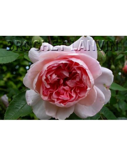 Rosa 'Colette' - Rosaceae - Rosier