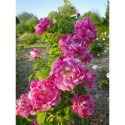 Rosa 'Commandant Beaurepaire' - Rosaceae - Rosier arbuste