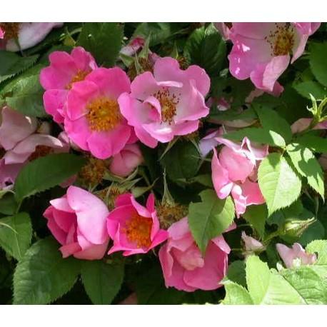 Rosa 'Complicata' - Rosaceae - Rosier