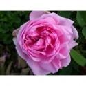 Rosa 'Comte de Chambord' - Rosaceae - Rosier