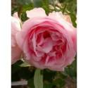 Rosa 'Comtesse de Barbantane' - Rosaceae - Rosier