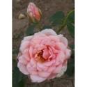 Rosa 'Comtesse de Noghera' - Rosaceae - rosier
