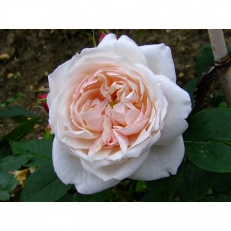 Rosa 'Comtesse de Rocquigny' - Rosaceae - Rosier