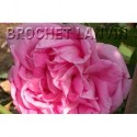 Rosa 'Conrad Ferdinand Meyer' - Rosaceae - Rosier