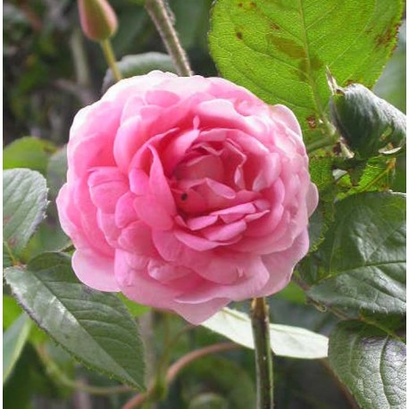Rosa 'Constance Spry' - Rosaceae - Rosier