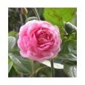 Rosa  'Constance Spry' - Rosaceae - Rosier