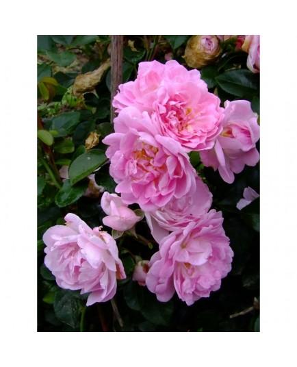 Rosa 'Coral Dawn' - Rosaceae - rosier
