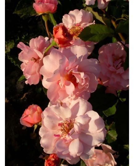Rosa 'Cornelia' - Rosaceae - Rosier