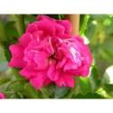 Rosa  'Coronation' - Rosaceae - Rosier