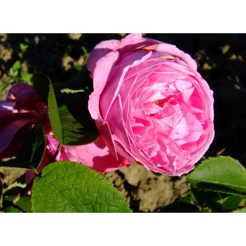 Rosa coupe d 39 h b rosier - Quand couper les rosiers ...