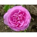Rosa 'Coupe d'Hébé' - Rosaceae - Rosier